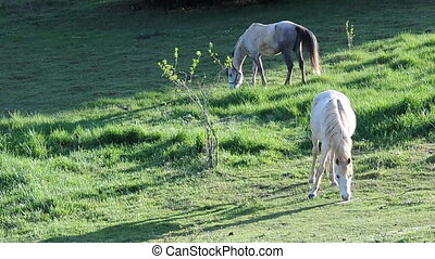 Two horses eat some grass from the field