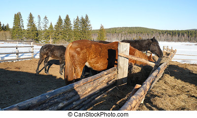 Horses eating grass. Well-groomed beautiful strong horse chewing hay