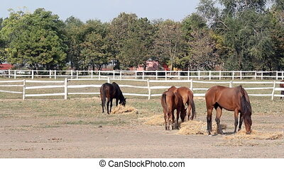 horses eating hay ranch scene
