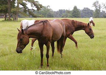 Horses feeding grass in a Texas green meadow, nature