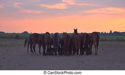 Horses feeding on ranch - Horses feeding, herd of horses on...