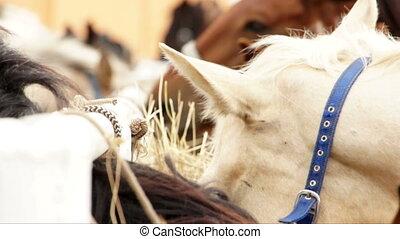 Horses feeding outofdoors close up video