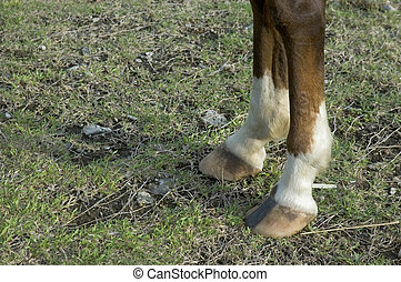 Horse's Feet - Close up of horse's two front feet