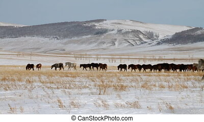 Horses  - Herd of horses. Winter Pasture.