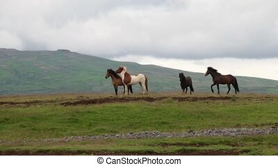 Horses gallop across the plain in Iceland. Andreev.