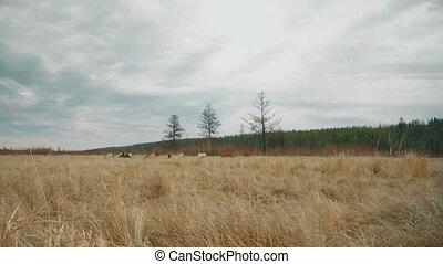 Horses graze in a field