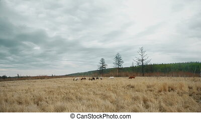 Horses graze in a field
