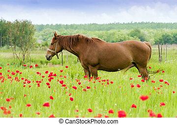 Horses graze in a poppy field.