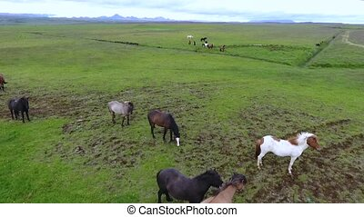 Horses graze in the plain in Iceland. Andreev.