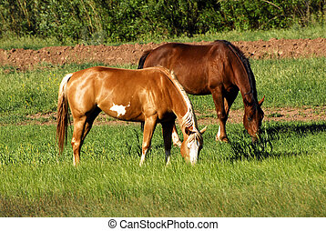 Horses Graze in the Sun - A paint and bay horse graze...