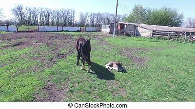 horses graze on a small farm - horses with long mane...