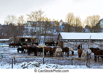 Horses graze on snow-covered farm in winter Ropsha