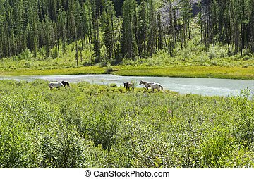 Horses graze on the river bank. Altai Mountains, Russia.