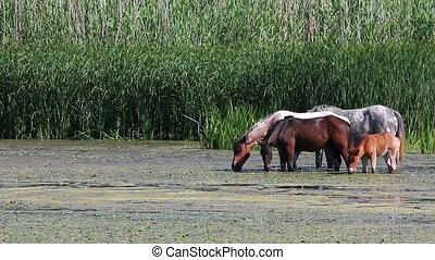 horses graze on the river