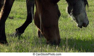 Horses Graze - Horses graze the young spring grass. Slow...