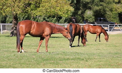 Horses Graze - Three horses graze in the pasture.