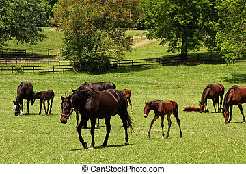 Horses Grazing - Beautiful horses and their baby ponies...