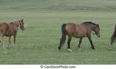 Horses grazing in a pasture in the Altai Mountains.