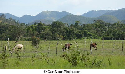 Horses grazing in green meadow.