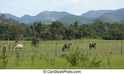 Horses grazing in green meadow.