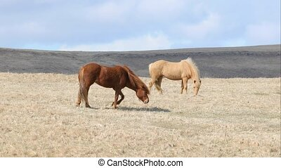 Horses grazing in Iceland
