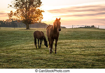Horses grazing in pasture on a cold morning at sunrise