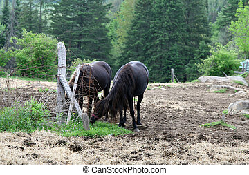 Horses grazing in the field