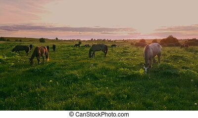 Horses grazing in the meadow at sunset