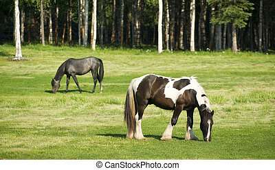 Horses Grazing inThe Pasture Long Haired Paint