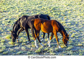 horses grazing on the meadow - horses grazing on the green...