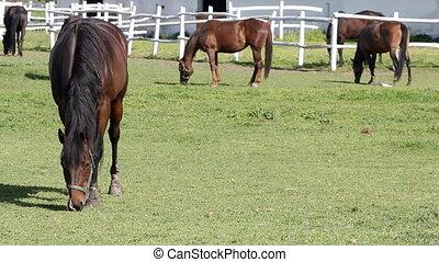 horses grazing ranch scene