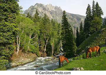 Horses grazing - Two wild horses grazing beside a river that...
