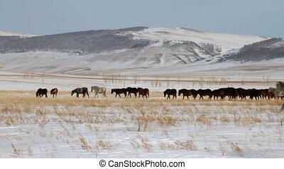 Horses  - Herd of horses. Winter Pasture.
