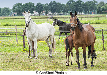 horses in a meadow