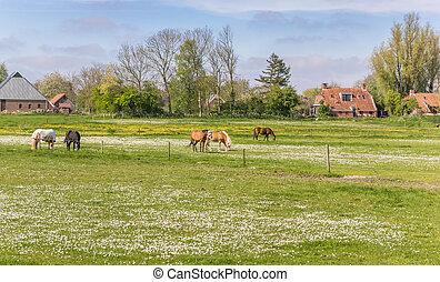 Horses in a meadow near Feerwerd