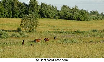 Horses in Green Field. Lithuania. Long shot