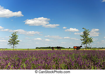 Horses in landscape behind the Lavender fields