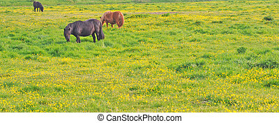 horses in meadow with buttercups