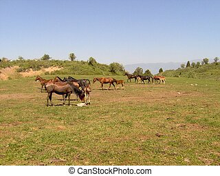 Horses in mountains. Uzbekistan, Chimgan region, spring 2006...