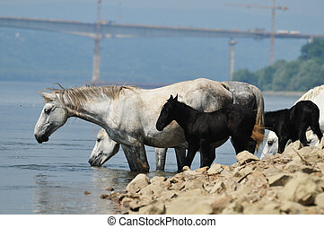 Horses in Pond