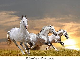 horses in sunset - white purebred horses in a sunset running