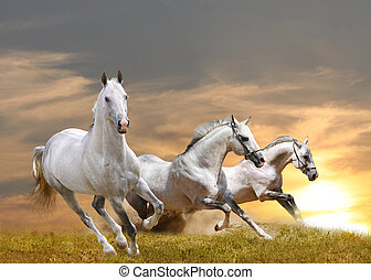 horses in sunset - white purebred horses in a sunset running