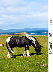 horses in the fields of Iona