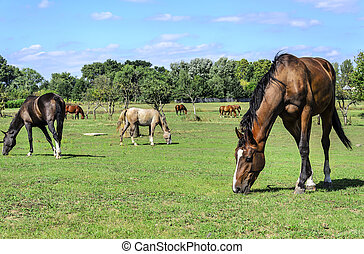 Horses in the meadow eat grass.