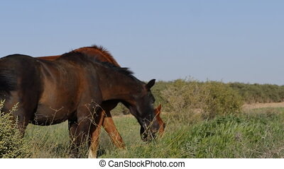 horses in the pasture eating grass