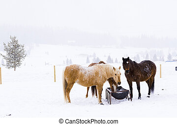 Horses in the snow on a small farm in Colorado.