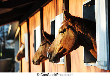 Horses in their stable - Three horses with the head outside ...