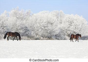 Horses in winter pasture