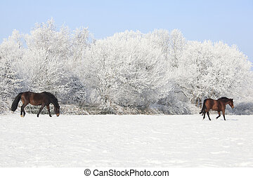 Horses in winter pasture