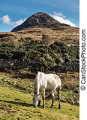Horses near Connemara National Park, Co. Galway, Ireland